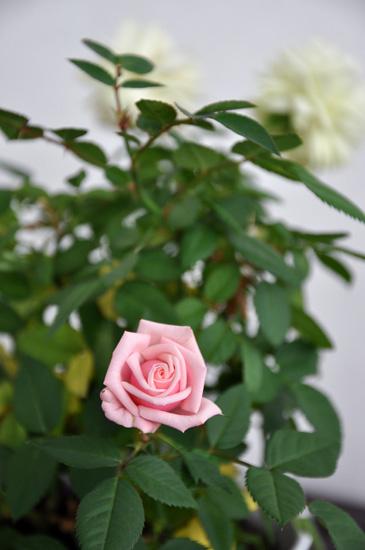 Ruusu kavereineen