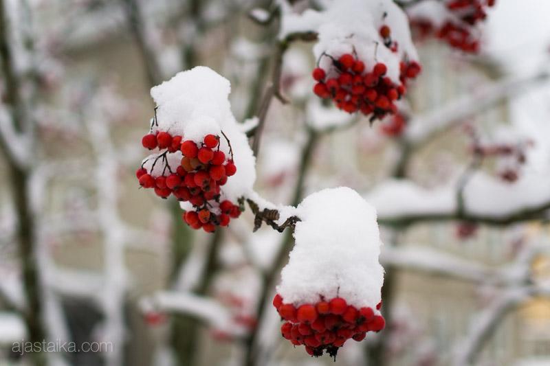 Pihlajanmarjojen lumipeite