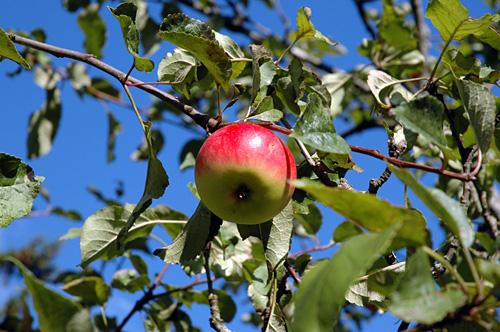 Yksinäinen omena