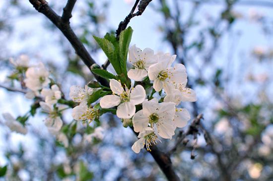 Kirsikka kukkii III