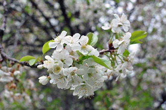 Kirsikka II