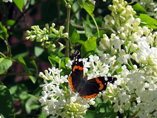 Perhonen kaunoinen
