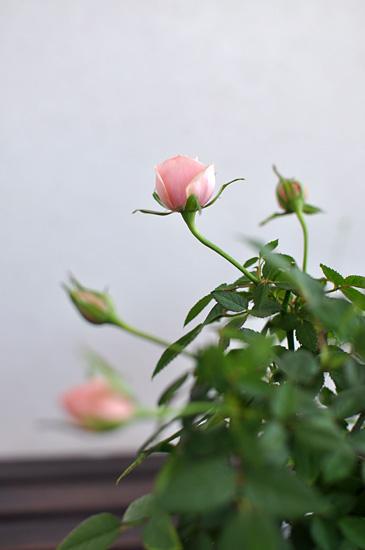 Ruusunnuput