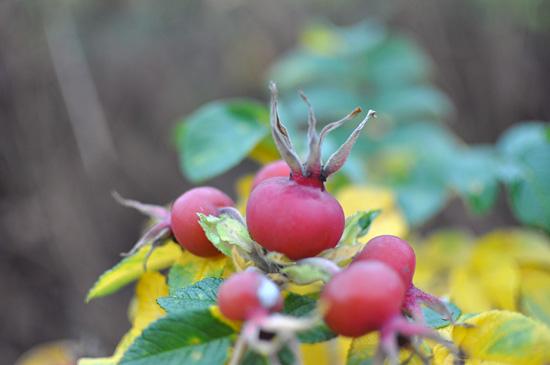 Ruusunmarjat