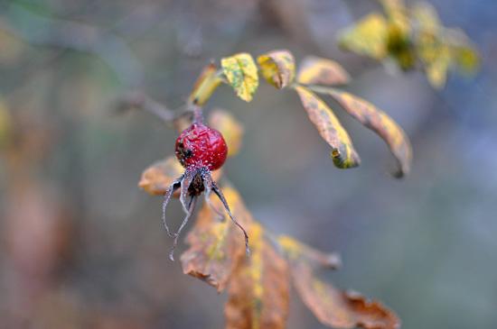 Ruusunmarja