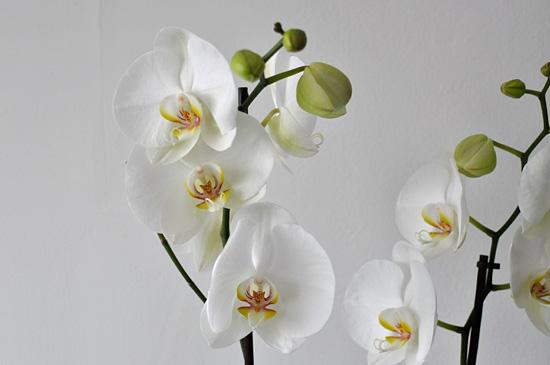 Orkidean kukat