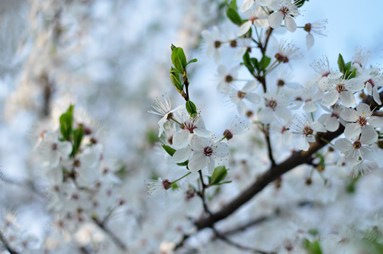 Cherry blossoms III