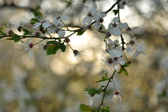 Cherry blossoms V