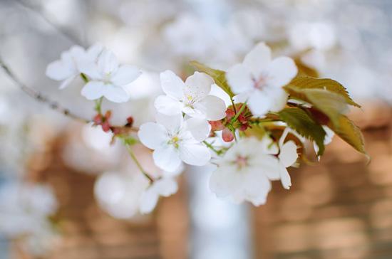 Kirsikankukat I