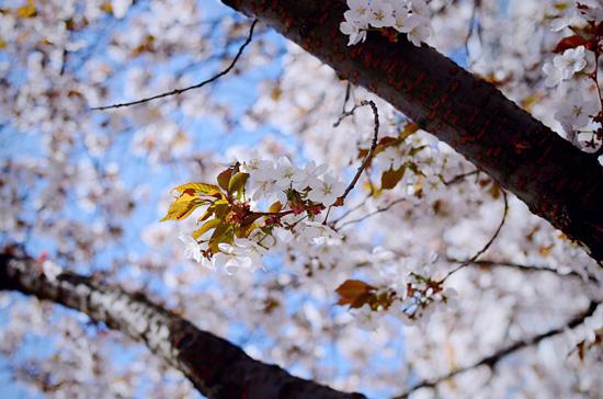 Kirsikankukat III