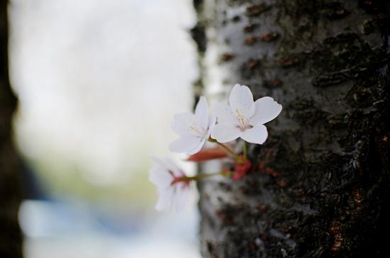 Kirsikankukat IV
