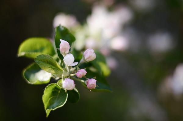 Omenankukat II