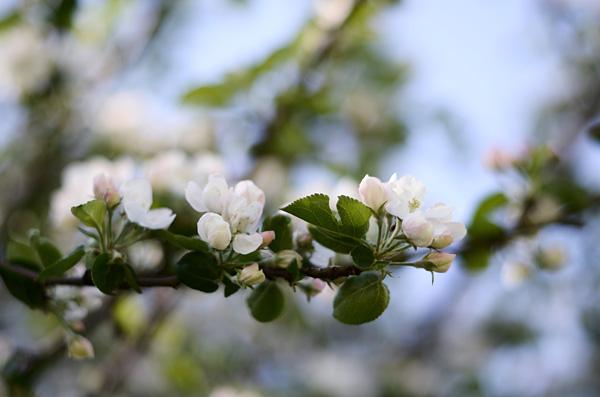 Omenankukat III