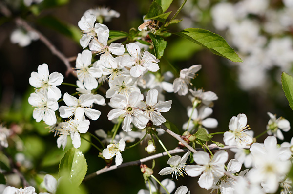 Kirsikankukat II
