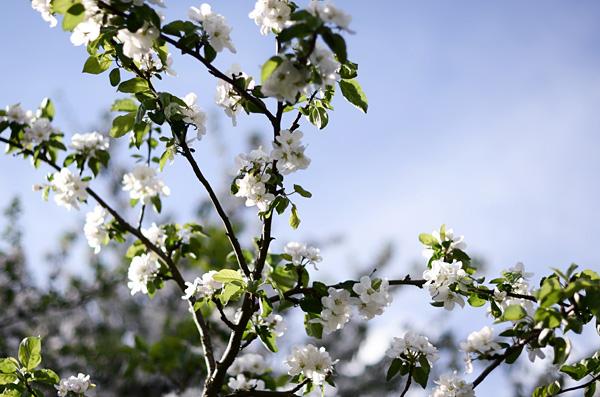 Omenankukat VII