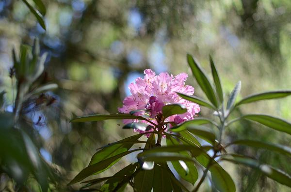 Vaaleanpunainen alppiruusu