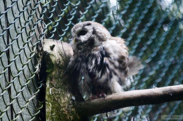Pöllö III