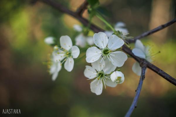 Kirsikka kukkii I