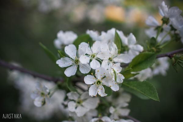 Kirsikka kukkii II