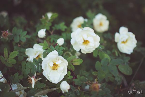 Juhannuksen ruusut