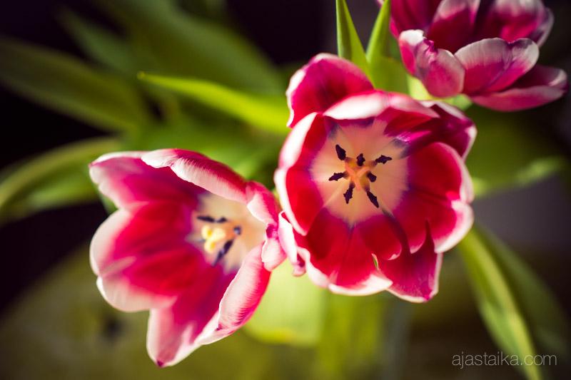 Tulppaanit kevätauringossa
