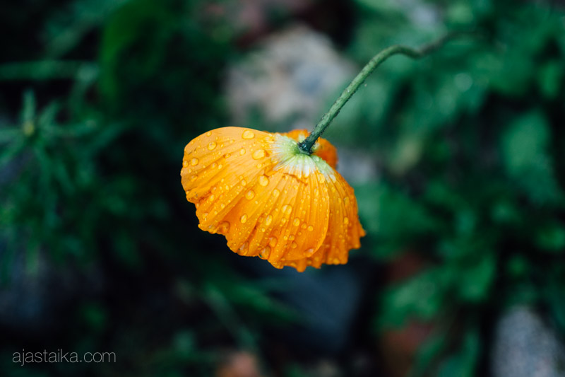 Oranssit pisarat