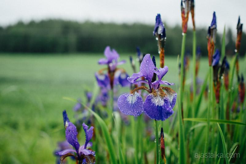 Violetit pisarat